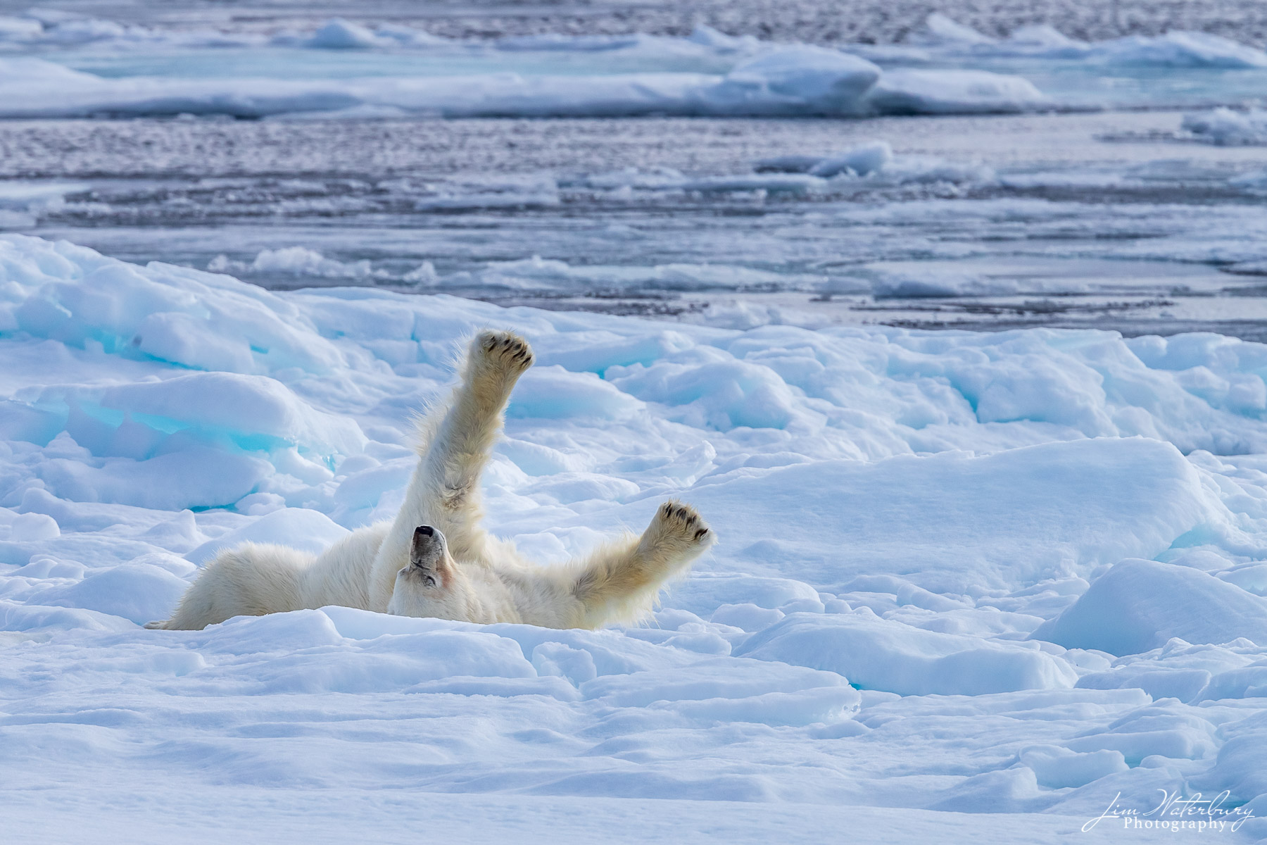 A polar bear, after a successful hunt and a swim in the icy waters of the Arctic Ocean, stretches on the pack ice north of Svalbard...
