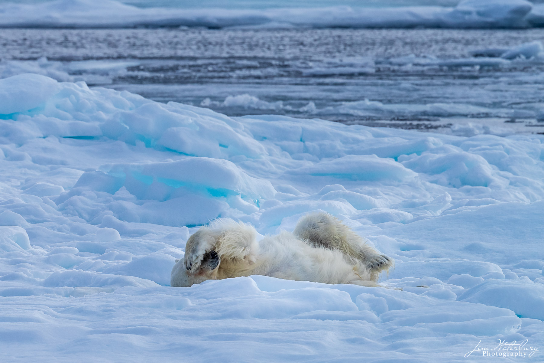 A polar bear, after a successful hunt and a swim in the icy waters of the Arctic Ocean, rests on the pack ice north of Svalbard...