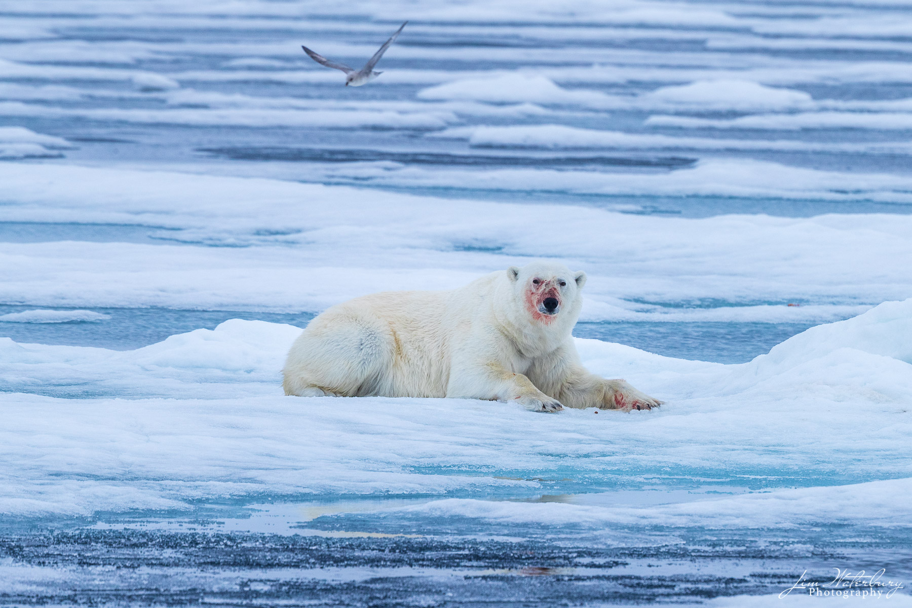 Arctic, Europe, Norway, Svalbard, ice, polar bear, photo