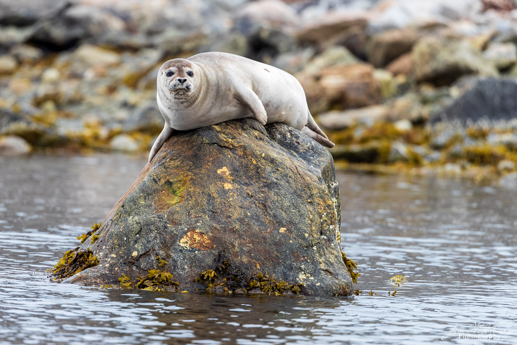 A harbor seal sits perched on a rock in a fjord in the far north of the Svalbard Archipelago.