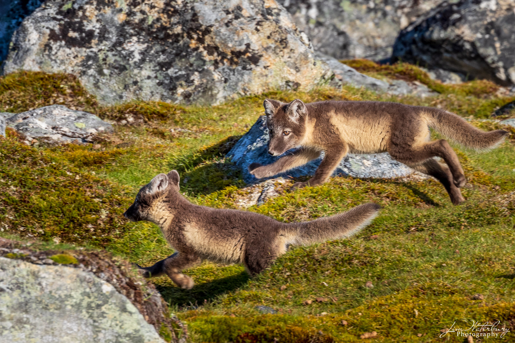 Arctic fox play in the evening light in Svalbard.