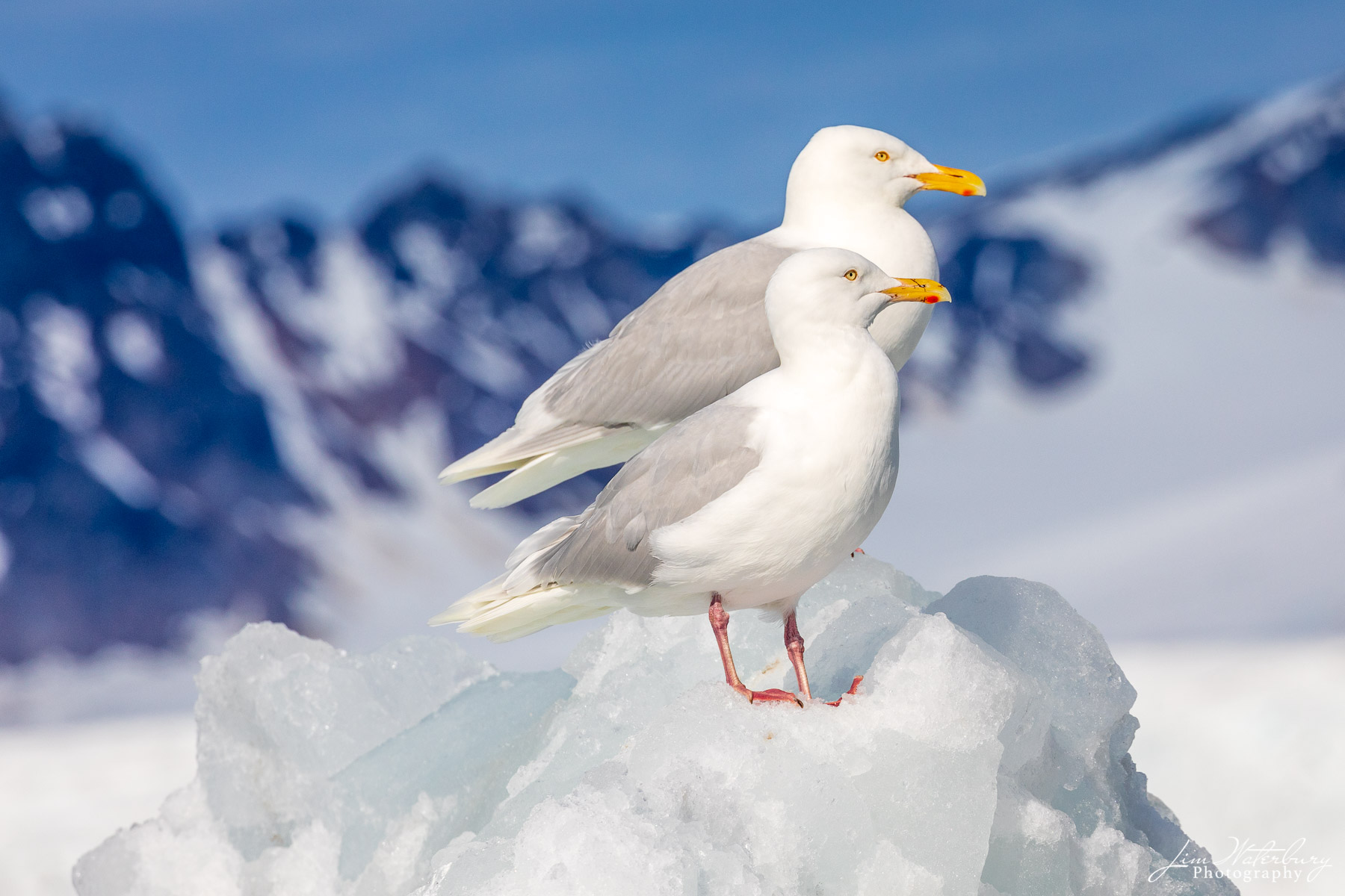 A pair of Glaucous gulls sit on a mound of rock and ice against a backdrop of distant mountains, in Svalbard, Norway in winter...