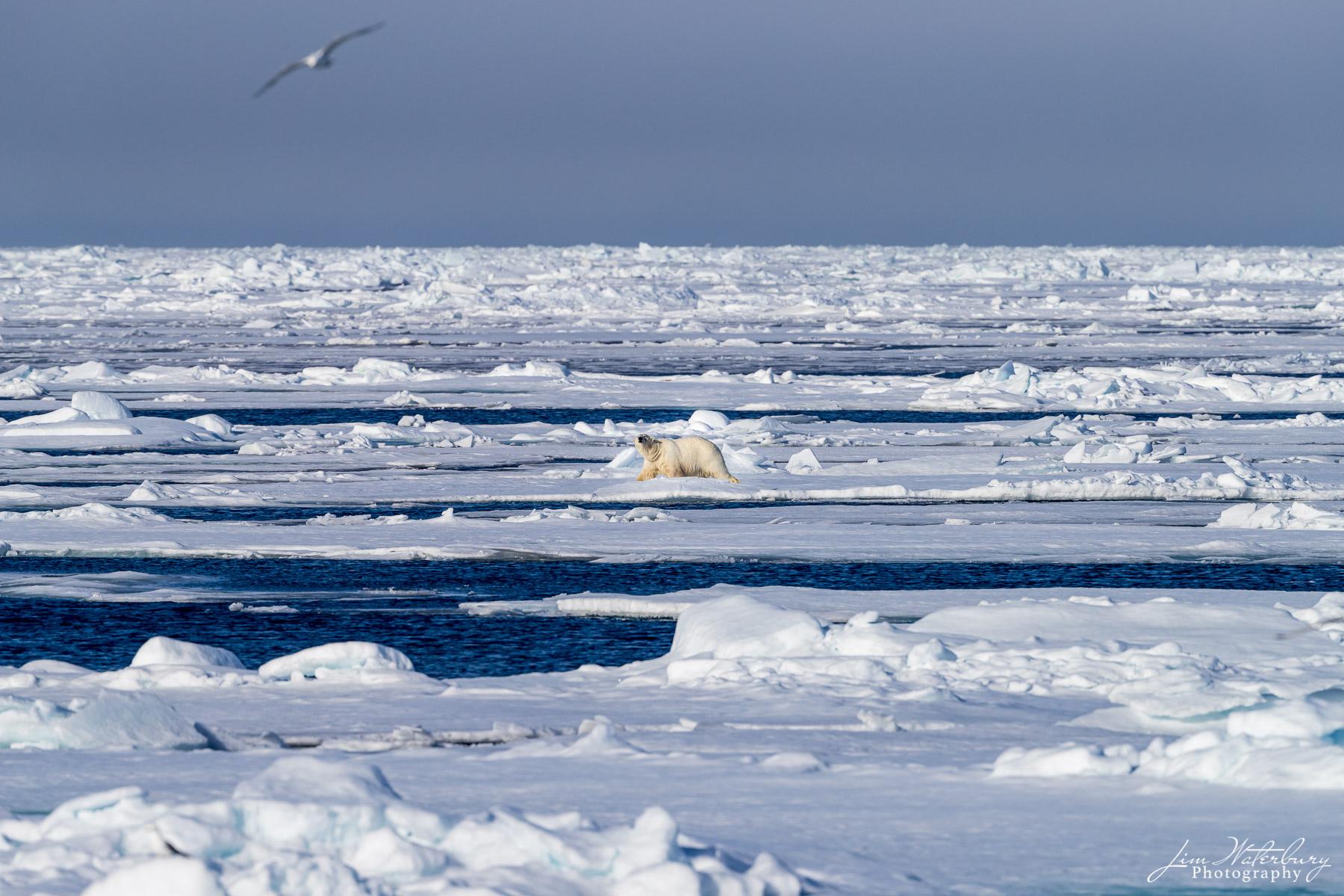 polar bear, pack ice, Svalbard, high arctic, photo