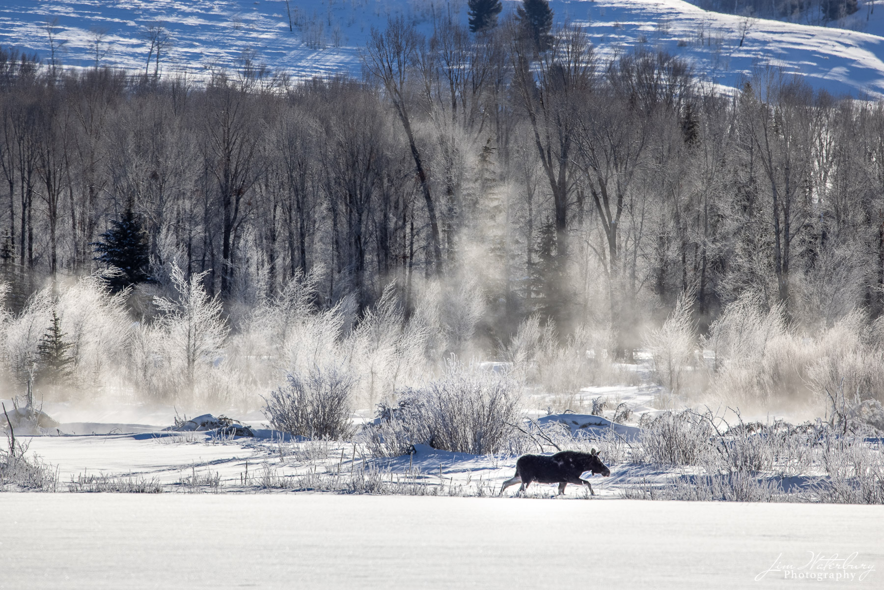 A moose makes its way through the deep snow along the Gros Ventre River in Grand Teton National Park, with mist rising in the...