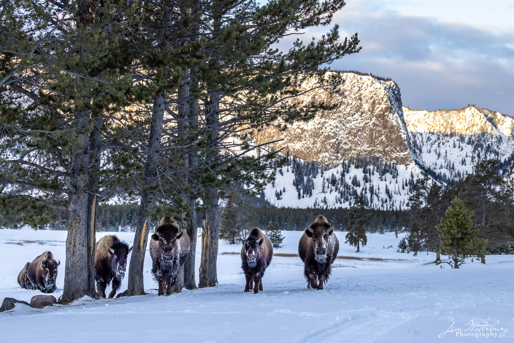 A herd of bison make their way through the trees near the west entrance to Yellowstone.