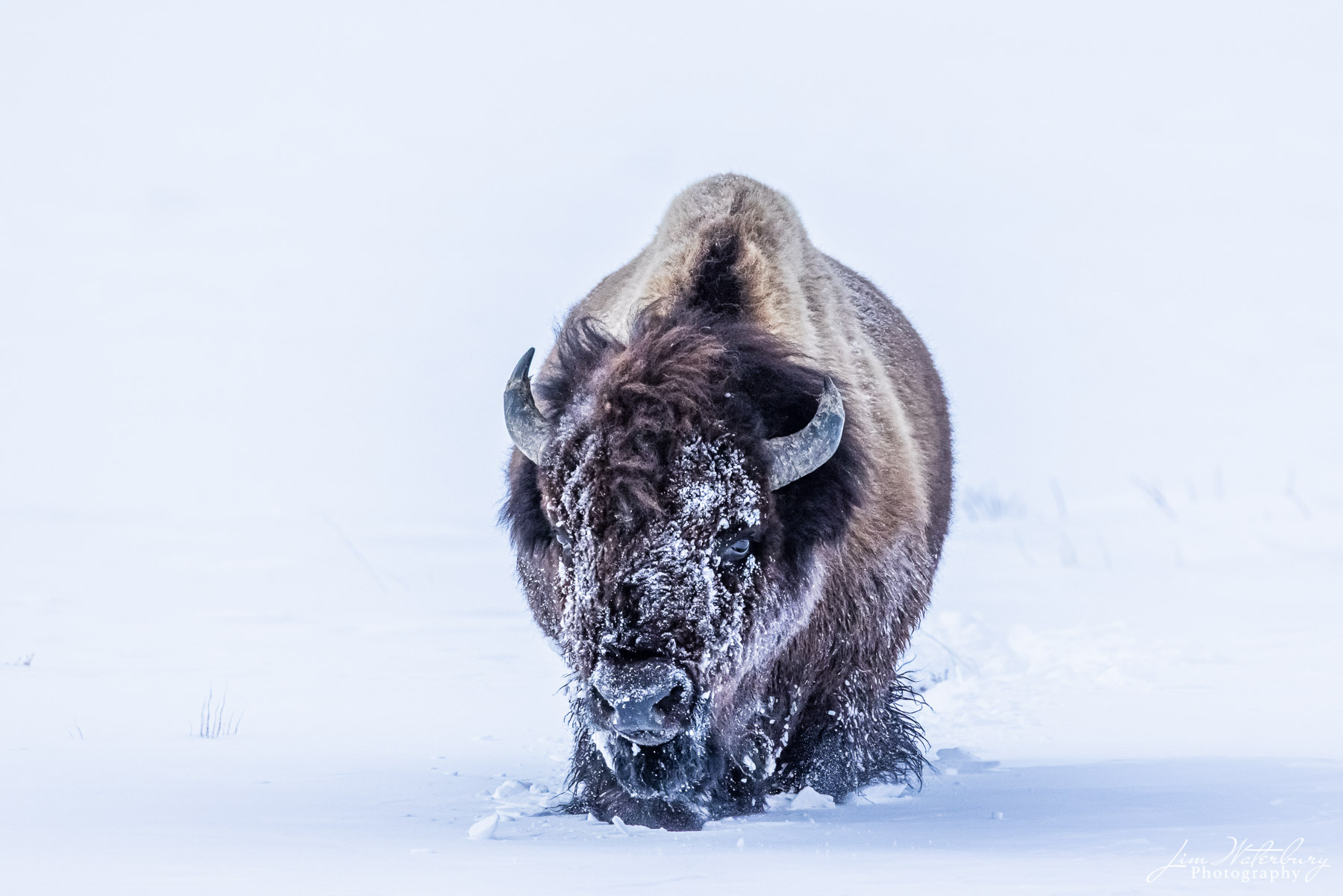 A single bison approach head-on through the deep snow.