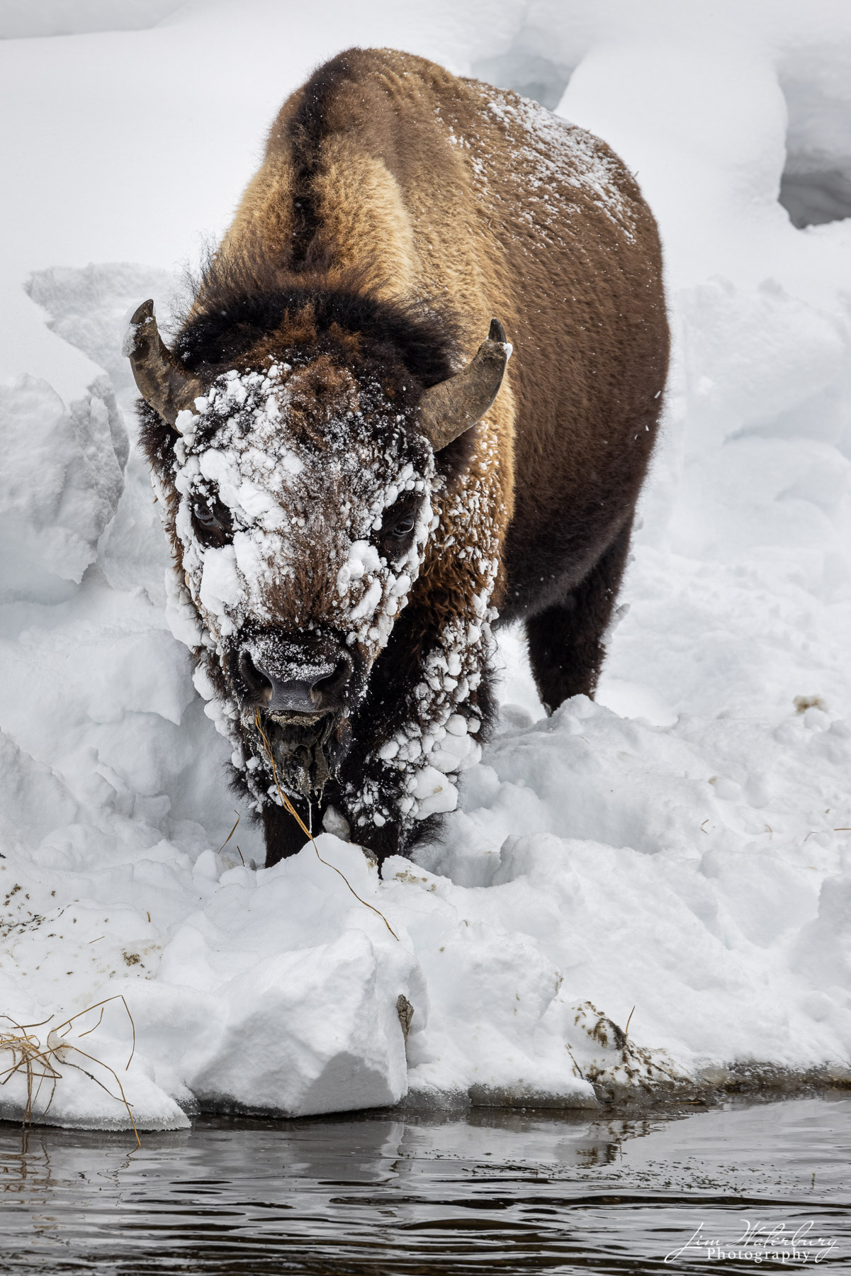 A lone bison with its face covered in snow.
