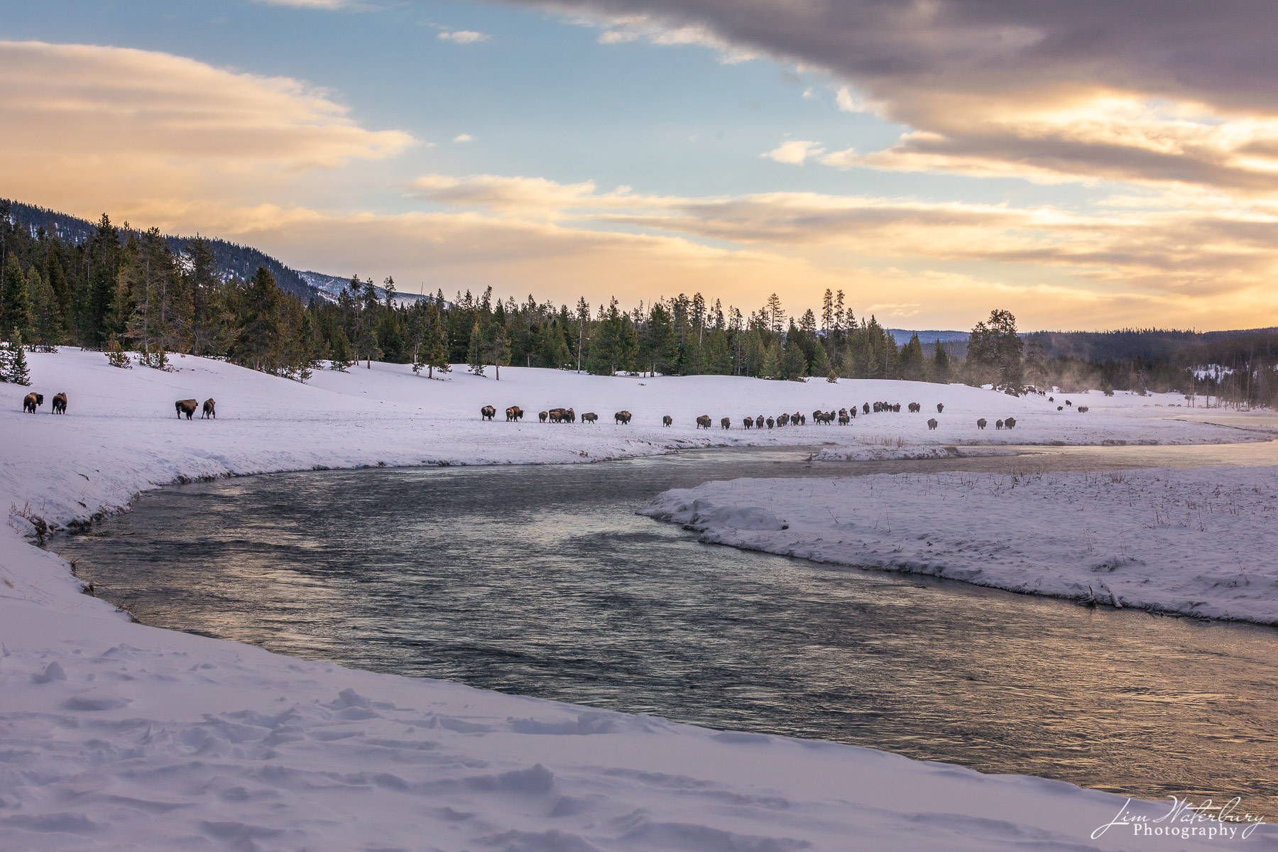Herd of bison along the Madison River, Yellowstone NP, in the early morning light