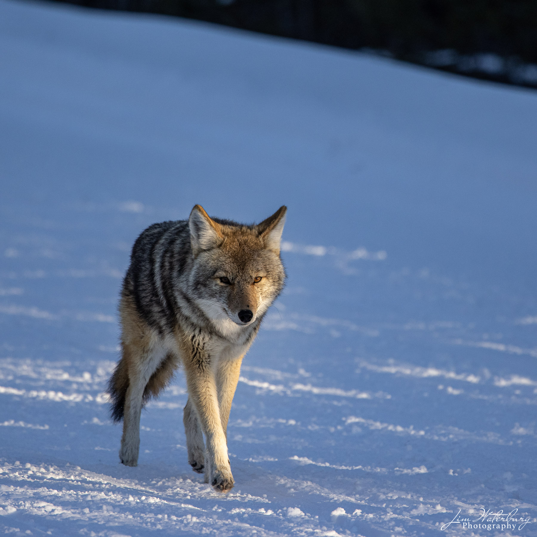 A coyote in Yellowstone in late-day sun.