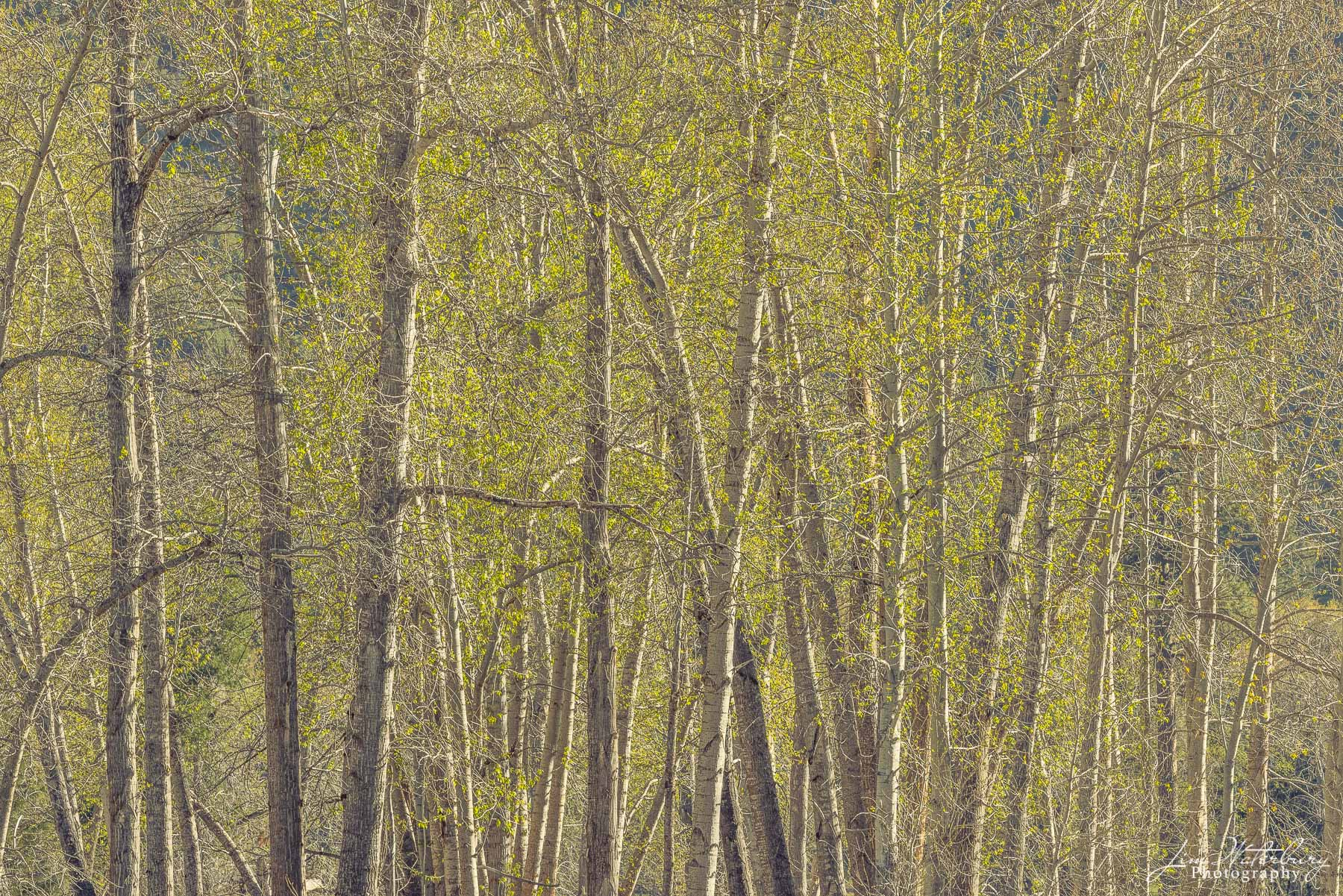 Trees begin to blossom in early spring, creating a screen of green.
