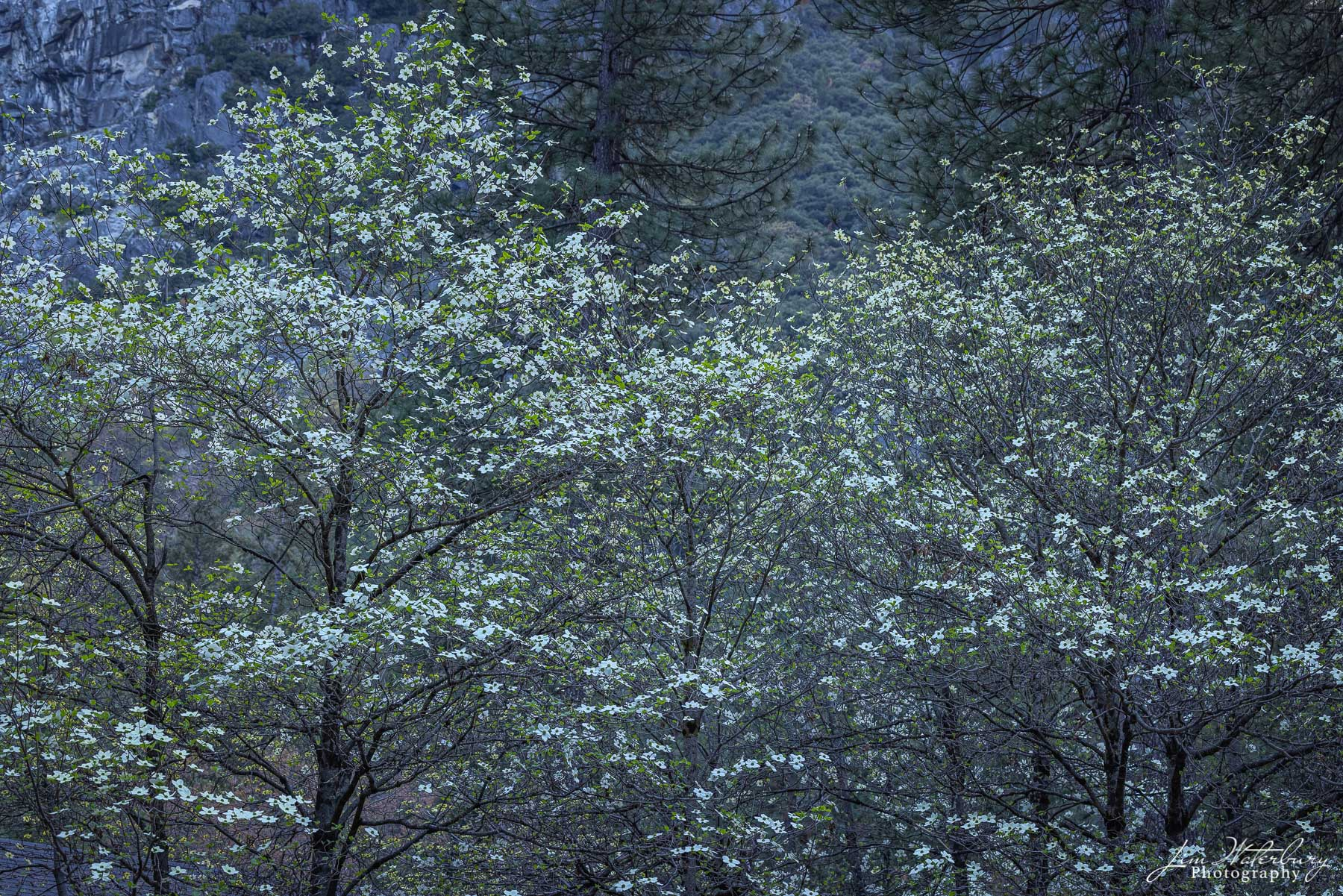 Dogwood trees at the Housekeeping Camp in Yosemite, set against the shadowed cliffs behind.
