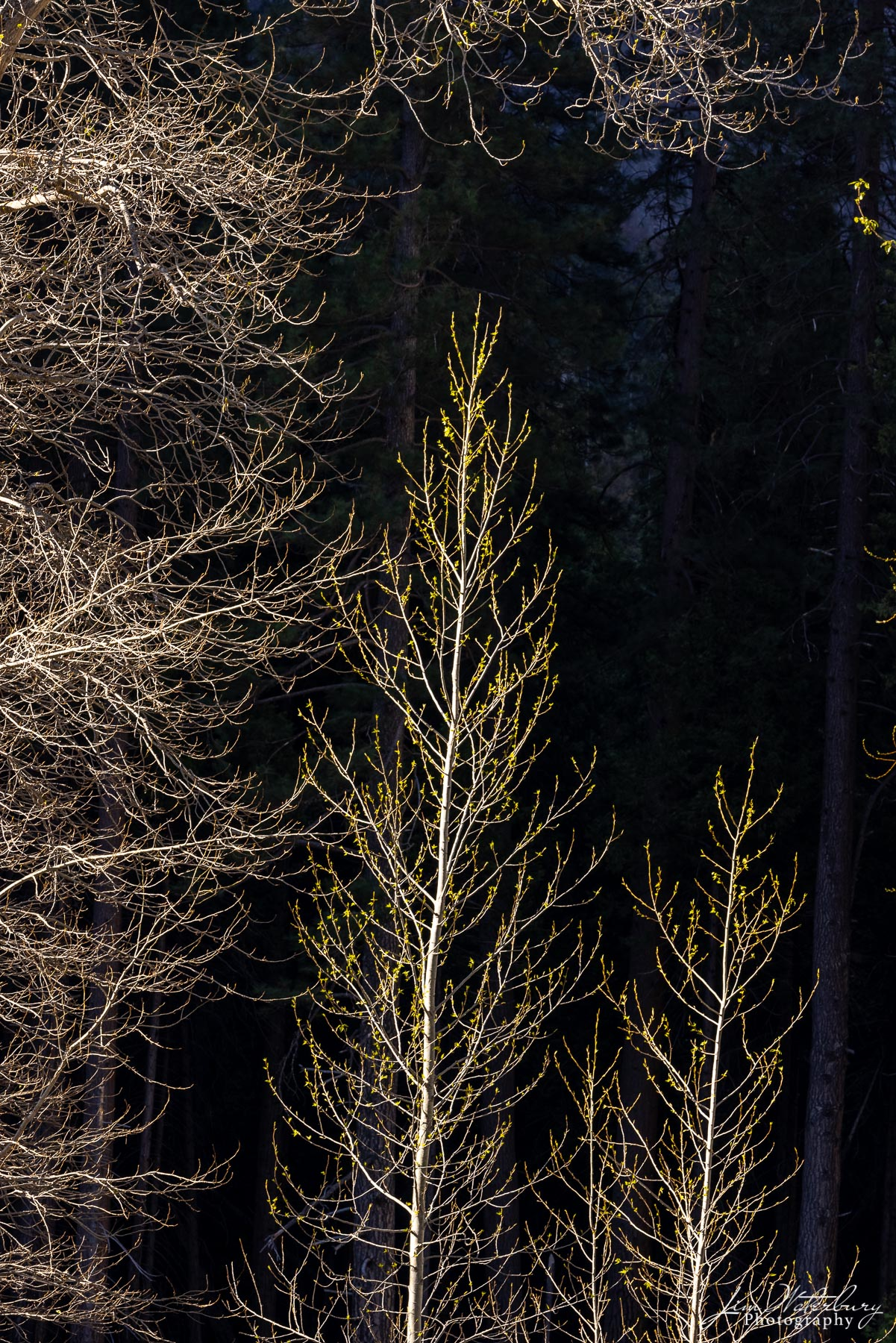In early spring, small trees along the Merced River show the first signs of rebirth.