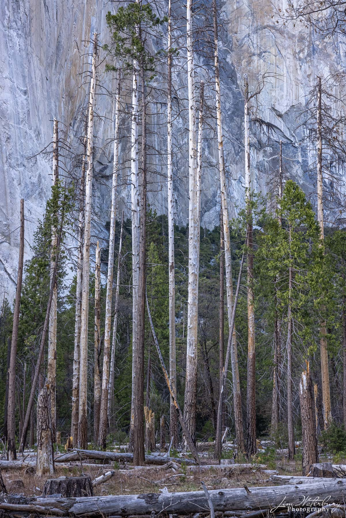 Trees on the floor of Yosemite Valley, the victim of severe winter storms, and damage from a multi-year drought.