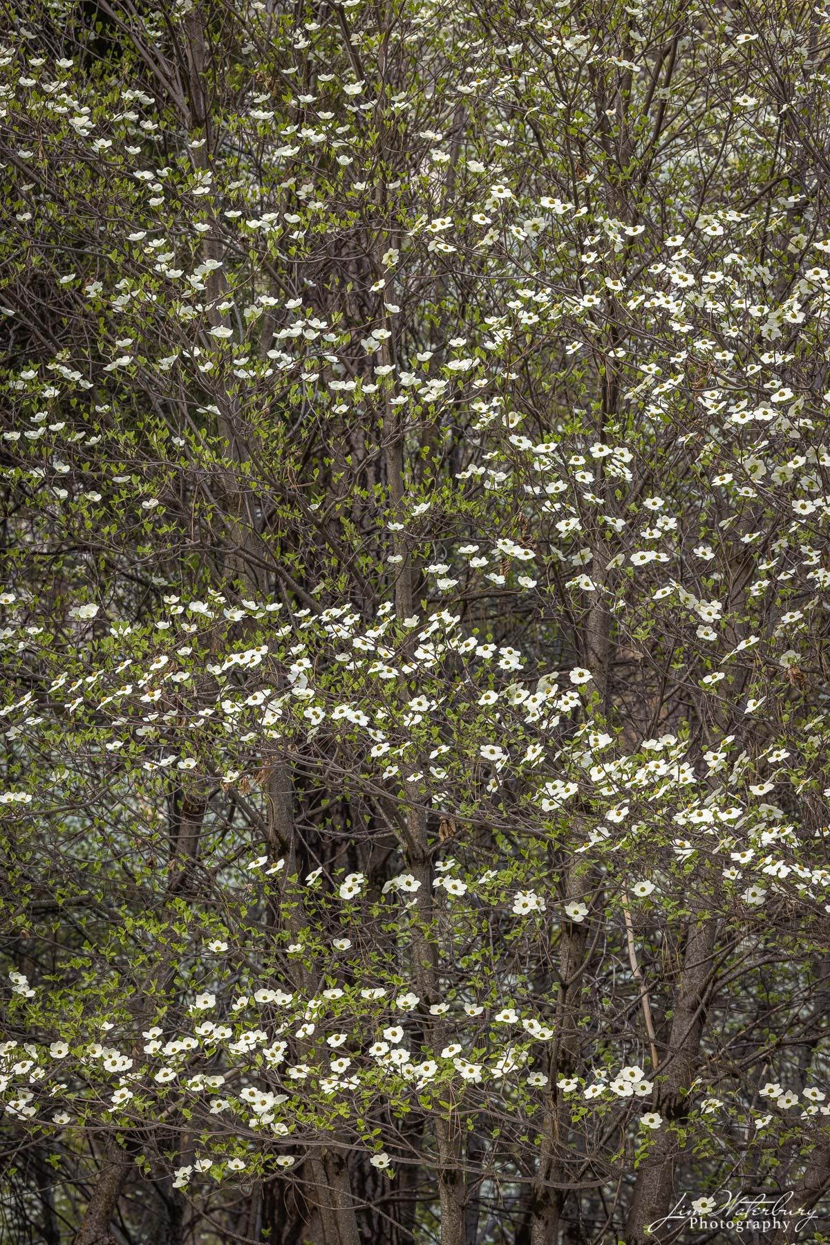 Dogwood trees in full bloom in the forest at the Housekeeping Camp, Yosemite Valley