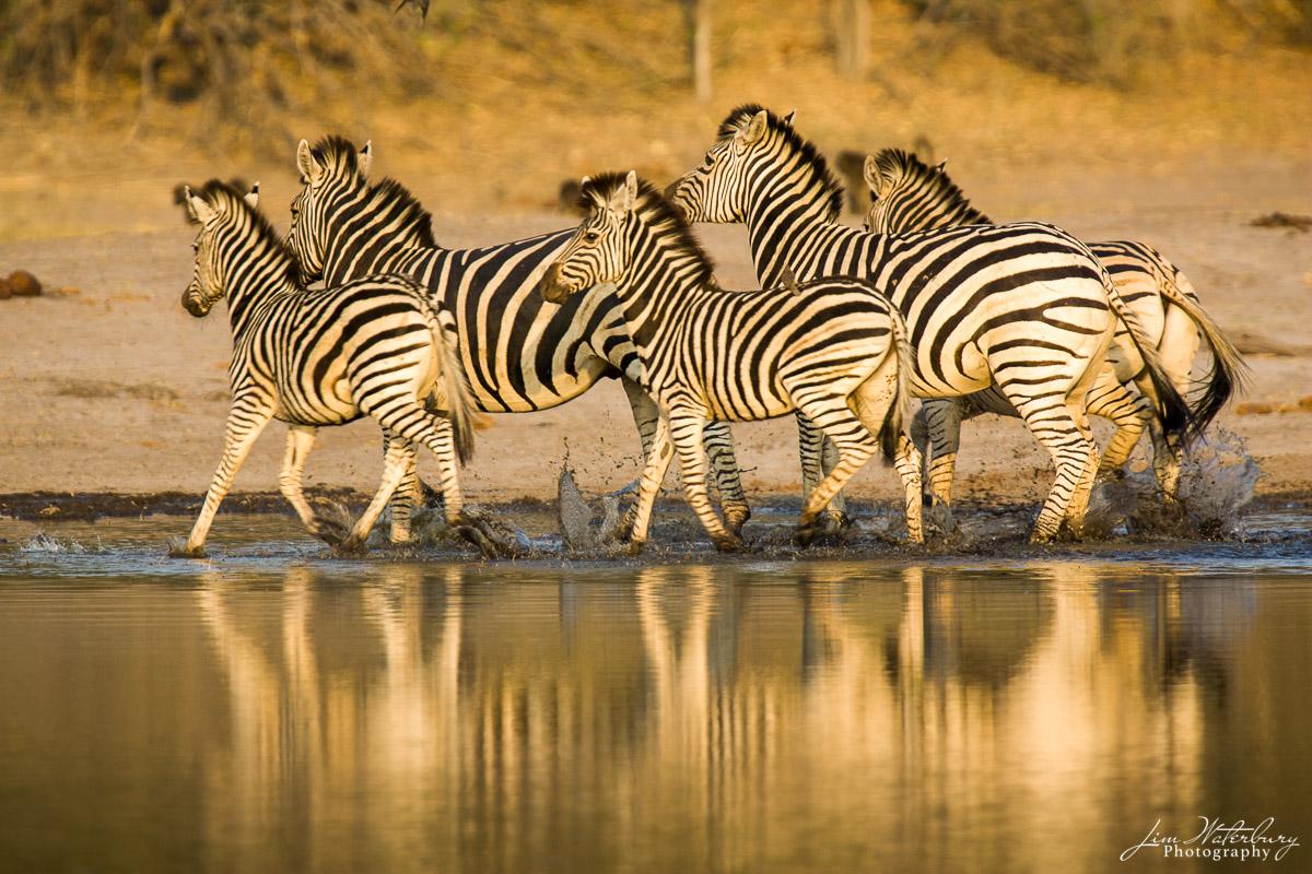 zebra, photo